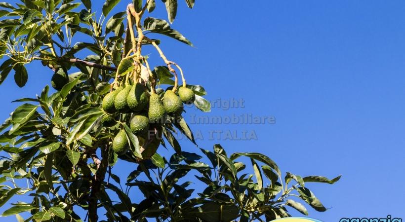 Rif. 465 - Rometta - Piantagione di avocado in VENDITA